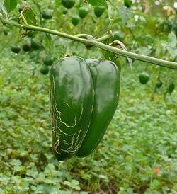 Chilli Early jalapeno