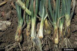 Onion Smut