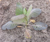 Cabbage Nitrogen Deficiency