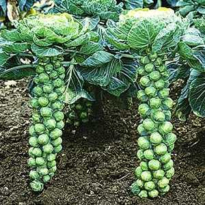File:Brussels-sprouts-1-.jpeg