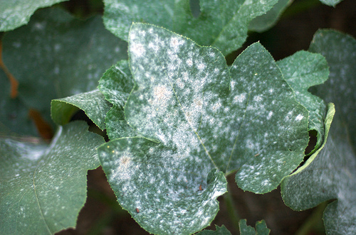File:Powdery Mildew on Pumpkin Leaf.jpg
