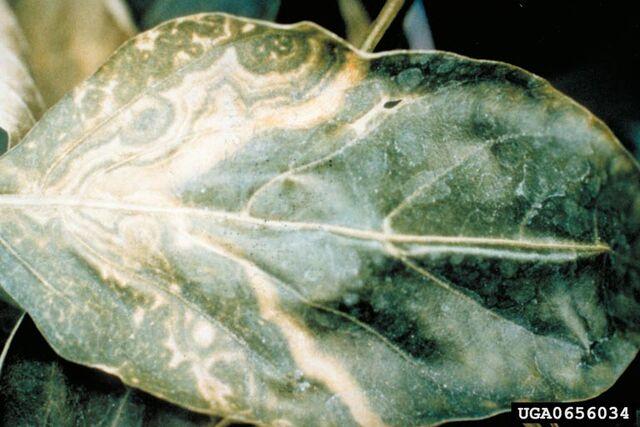 File:Pepper Tomato Spotted Wilt Virus Leaf.jpg