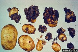 Potato Wart Disease