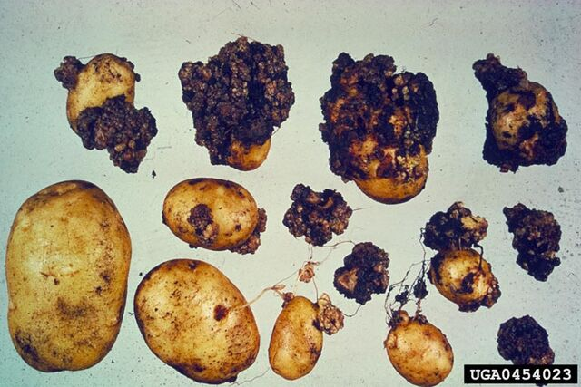 File:Potato Wart Disease.jpg