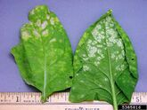 Spinach White Rust Albugo candida