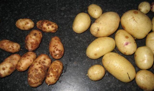 File:Potato Scab.jpg