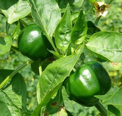 Sweet pepper Gamba