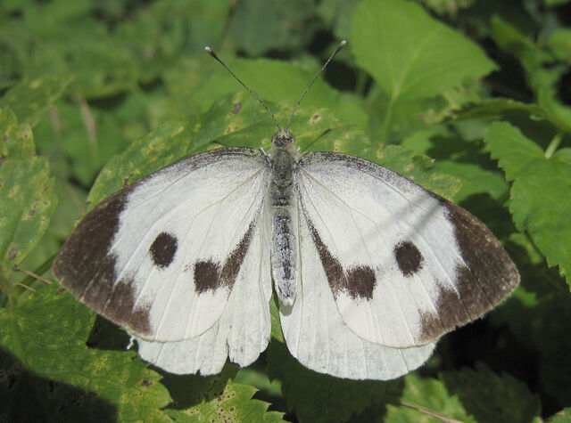 File:Large Cabbage white spread wings.jpg