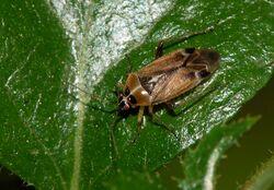 Capsid Bug Miridae