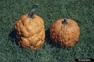Pumpkin Papaya ringspot virus