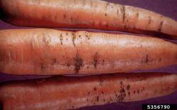 Carrot Bacterial streak Xanthomonas campestris pv. carotae