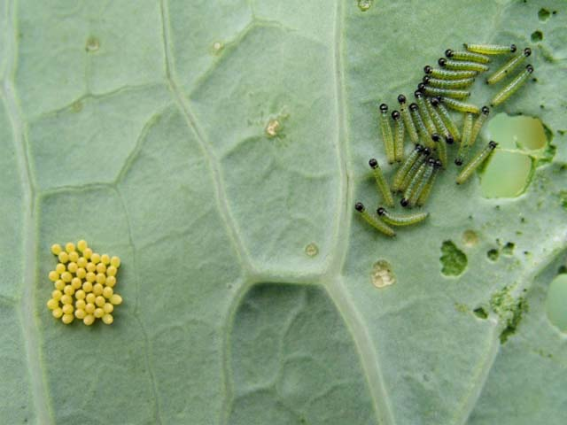 File:Cabbage white eggs and caterpillars on sea kale leaf.jpg
