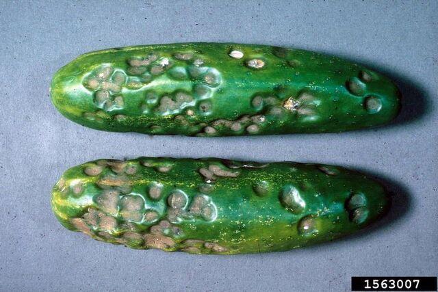 File:Cucumber Anthracnose.jpg