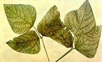 Runner bean Manganese deficiency Leaves