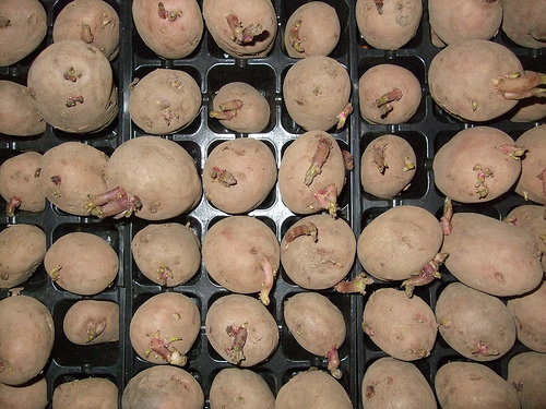 File:Potato chitting.jpg