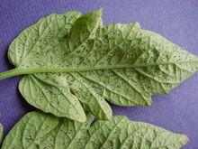 Tomato Cabbage Whitefly