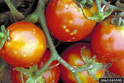 Tomato Clavibacter michiganensis