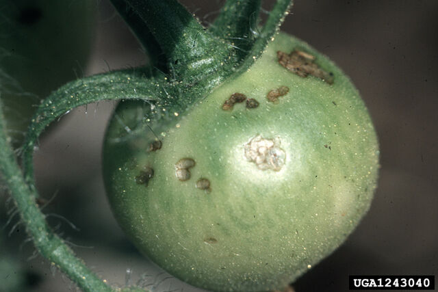 File:Tomato Potato Flea Beetle Fruit.jpg