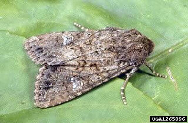 File:Cabbage Moth.jpg