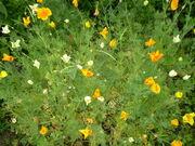 Eschscholzia californica 0.3 R.jpg