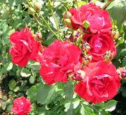 Rose Korona