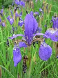 Iris sanguinea 2007-05-13 361.jpg