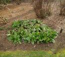 Bergenia crassifolia