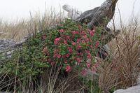 Ribes sanguineum 5724