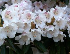 Rhododendron wardii var puralbum