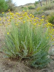 Santolina rosmarinifolia1