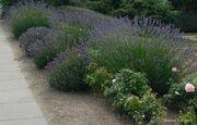 Lavandula-angustifolia-two-clones.jpg