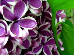 Royal Botanical Gardens Lilac Celebration