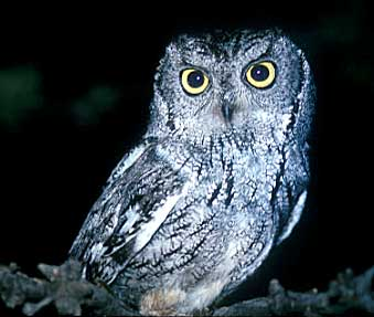 File:Owl2.png