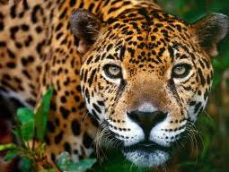 File:Jaguar1.png
