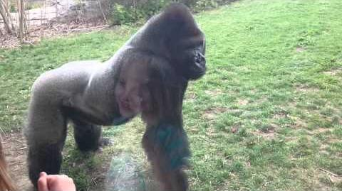 When a Silverback attacks.-0
