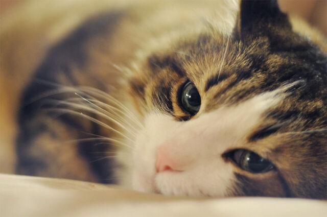 File:40296-cat-sleepy-tom-1-.jpg