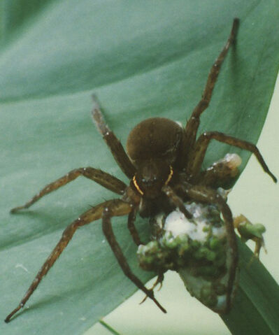 File:Fishing spider eats tree frog.jpg