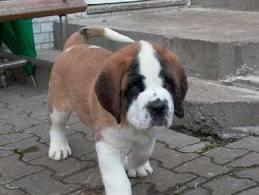 File:Charlie puppy.jpg