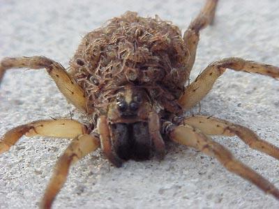 File:Spider wolfmommy2.jpg