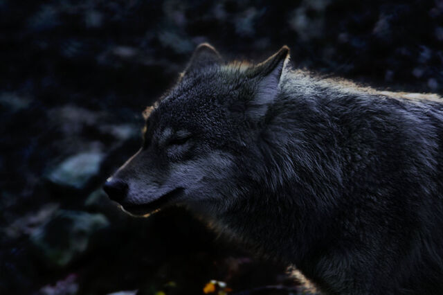 File:Gray Wolf.jpg
