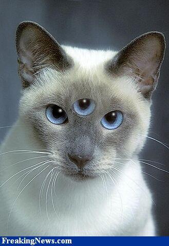 File:Siamese-Triclops-Cat--558.jpg