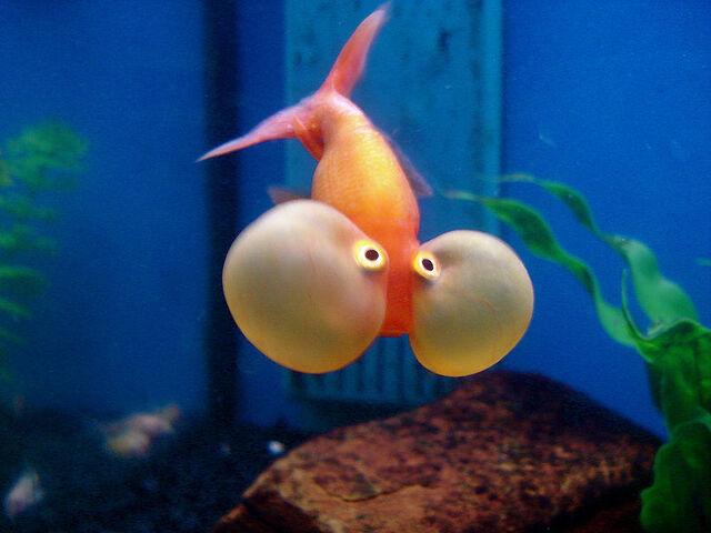 File:Bubble-eye-goldfish.jpg