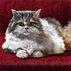 Tommen Cat