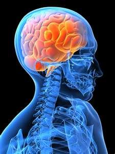 File:Brain.jpeg