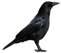 Crow PNG3103