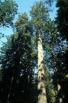 File:Redwood.jpg