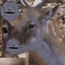MpCJ Deer1