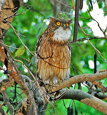 File:Brown Fish Owl.jpg