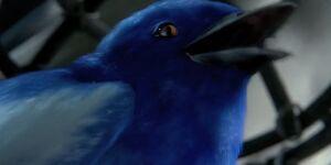 Bluewren2