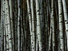 White-birch-trees 9392 990x742